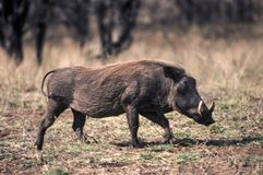 Warthog. Phacochoerus aethiopicus, Kruger National Park, Mpumalanga, South Africa Stock Photography