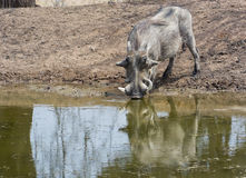 Warthog at waterhole Stock Images