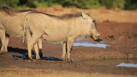 Warthog at a waterhole stock footage