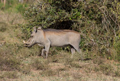 Warthog in the wild Stock Photos
