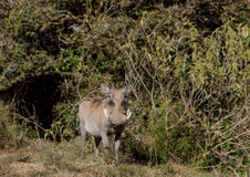 Warthog in the wild Stock Photo
