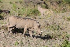 Warthog wild animal in Africa. Warthog in African savana on dry grass at safari game wild nature in Masai Mara, Amboseli, Samburu, Serengeti and Tsavo national Royalty Free Stock Images