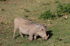 Warthog wild animal in Africa. Warthog in African savana on dry grass at safari game wild nature in Masai Mara, Amboseli, Samburu, Serengeti and Tsavo national Stock Image