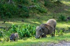 Warthog wild animal in Africa. Warthog in African savana on dry grass at safari game wild nature in Masai Mara, Amboseli, Samburu, Serengeti and Tsavo national Stock Photo