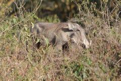 Warthog wild animal in African bush. Warthog in African savana on dry grass at safari game wild nature in Masai Mara, Amboseli, Samburu, Serengeti and Tsavo Stock Photo