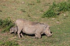 Warthog wild animal in African bush. Warthog in African savana on dry grass at safari game wild nature in Masai Mara, Amboseli, Samburu, Serengeti and Tsavo Stock Image