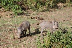 Warthog wild animal in African bush. Warthog in African savana on dry grass at safari game wild nature in Masai Mara, Amboseli, Samburu, Serengeti and Tsavo Royalty Free Stock Image