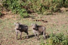 Warthog wild animal in African bush. Warthog in African savana on dry grass at safari game wild nature in Masai Mara, Amboseli, Samburu, Serengeti and Tsavo Stock Photos
