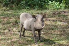 Warthog wild animal in African bush. Warthog in African savana on dry grass at safari game wild nature in Masai Mara, Amboseli, Samburu, Serengeti and Tsavo Stock Images
