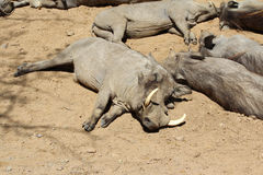 Warthog, Wild Animal, Wildlife Nature Royalty Free Stock Image