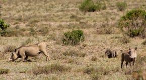 Warthog wild animasl in African bush. Warthog in African savana on dry grass at safari game wild nature in Masai Mara, Amboseli, Samburu, Serengeti and Tsavo Stock Photos