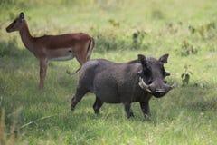 Warthog. Wild warthog in Masai Mara national park Royalty Free Stock Image