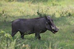 Warthog. Wild warthog in Masai Mara national park Royalty Free Stock Photo