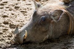Warthog wild pig, lives in Africa, wild animal close up. Big warthog wild pig, lives in Africa, wild animal close up Stock Photography