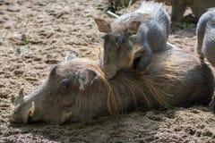 Warthog wild pig, lives in Africa, wild animal close up. Big warthog wild pig, lives in Africa, wild animal close up Stock Photo