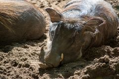 Warthog wild pig, lives in Africa, wild animal close up. Big warthog wild pig, lives in Africa, wild animal close up Royalty Free Stock Photo