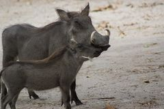 A Warthog in the wild in Senegal stock photos