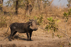 Southern Warthog Royalty Free Stock Photography