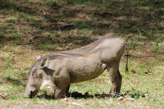 Warthog in the wild Stock Images