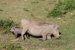 Warthog in the wild Stock Image