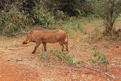 Warthog. Wild warthog pig in Kenya Royalty Free Stock Photo