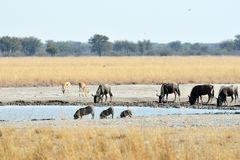 Warthog, wildebeests and zebras, Khama Rhino Sanctuary, Botswana Royalty Free Stock Photo