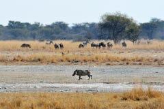 Warthog, wildebeests and zebras, Khama Rhino Sanctuary, Botswana Royalty Free Stock Images