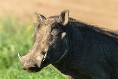 Warthog Wildlife Royalty Free Stock Photography