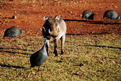Warthog withGuinea Fowl. A warthog with guinea fowl Royalty Free Stock Photos