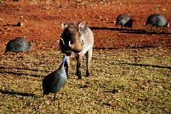 Warthog withGuinea Geflügel Lizenzfreie Stockfotos