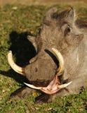 Warthog yawning showing dangerous tusks. Warthog male with large tusks, Masai Mara National Reserve, Kenya, East Africa Stock Photography