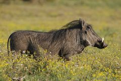 Warthog and Yellow Flowers Stock Images