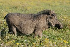Warthog and Yellow Flowers Royalty Free Stock Photos