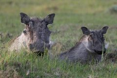 Warthog and Young Stock Photo