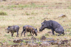 Warthog with young ones Stock Photo
