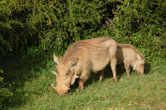 Warthog with young Stock Photography