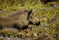 Warthog z kwiatami Fotografia Royalty Free