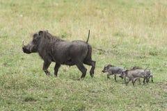 Warthog z rodziną Obrazy Royalty Free