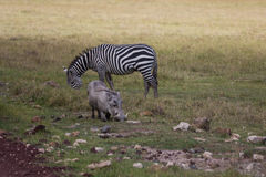 A warthog and zebra grazing Royalty Free Stock Photography