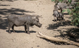 Warthog in the zoo Stock Images