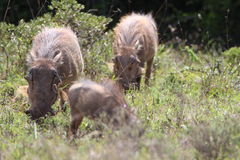 Warthogs在阳光下 库存图片