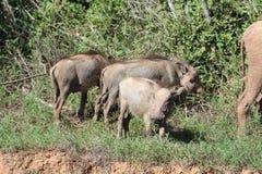 Warthogs在阳光下 库存照片