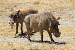 warthogs夫妇  免版税库存图片