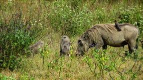 warthogs家庭和一只小鸟,肯尼亚 库存图片