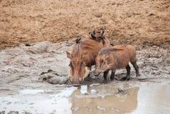 Warthogs και λάσπη Στοκ φωτογραφίες με δικαίωμα ελεύθερης χρήσης