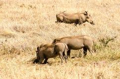 Warthogs, κρατήρας Ngorongoro Στοκ εικόνα με δικαίωμα ελεύθερης χρήσης