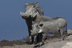 Warthogs - Ναμίμπια Στοκ φωτογραφία με δικαίωμα ελεύθερης χρήσης