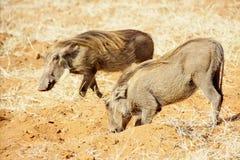 2 Warthogs в красном песке Стоковые Фотографии RF