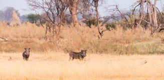 Warthogs в перепаде Okavango Стоковая Фотография