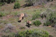 Warthogs в солнце Стоковое Изображение